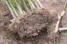 bambus-entfernen-kosten