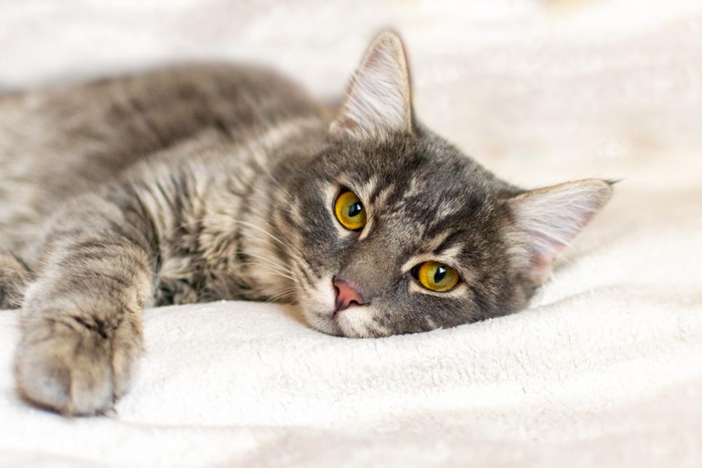 Was kostet die Behandlung einer Blasenentzündung bei Katzen?