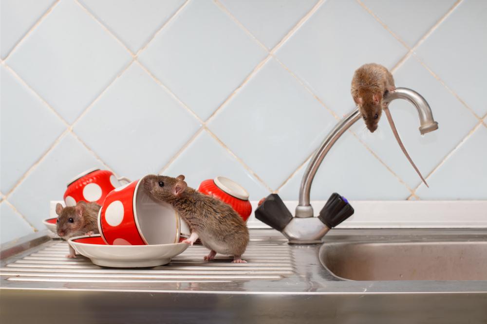 Rattenbekämpfung: welche Kosten sind zu erwarten?