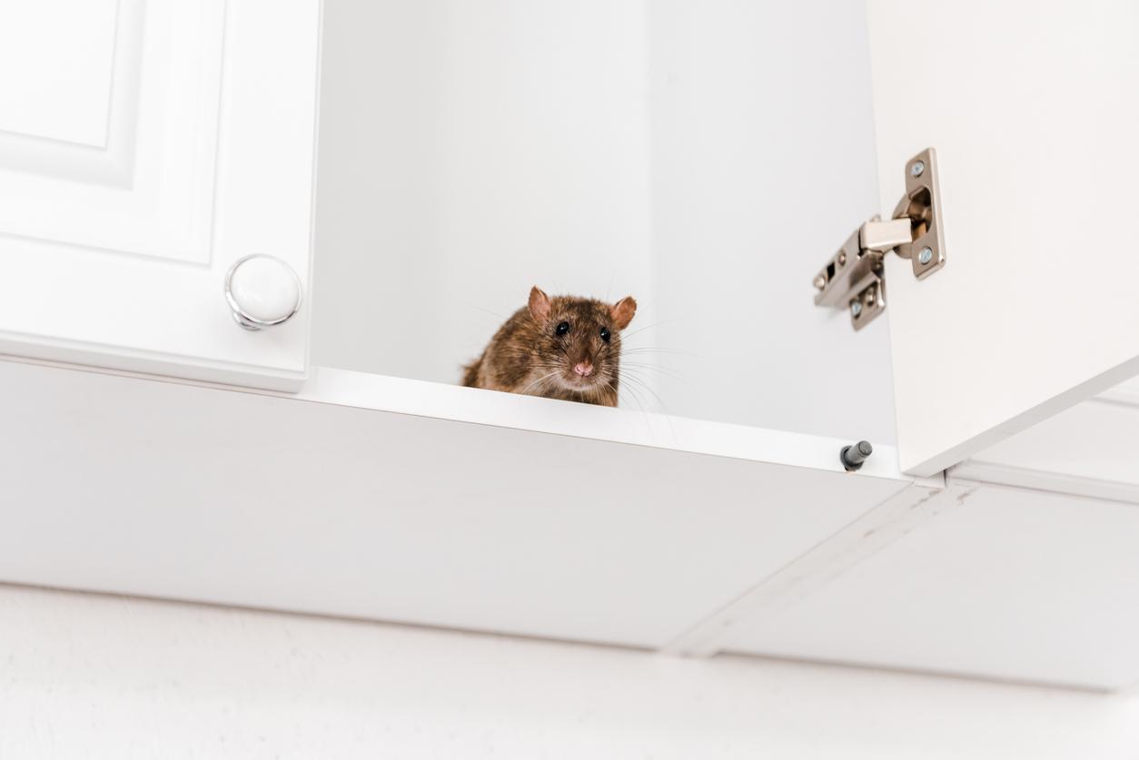 Kammerjäger-Kosten bei Mäusen: wie viel muss man rechnen?